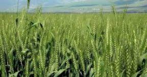 اكتمال زراعة 500 الف فدان قمح وبشريات بانتاجية عالية
