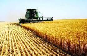 الولاية الشمالية... توقعات بالاكتفاء الذاتي من القمح