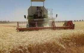 """حصاد القمح بالشمالية....""""امطار"""" خير ومصالح مشتركة"""