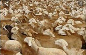 الثروة الحيوانية تنفي رجوع بواخر من صادر الماشية الأيام السابقة